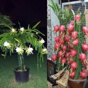 Питахайя (Pitahaya) Красная черенкован. 10-15 см. Комнатный