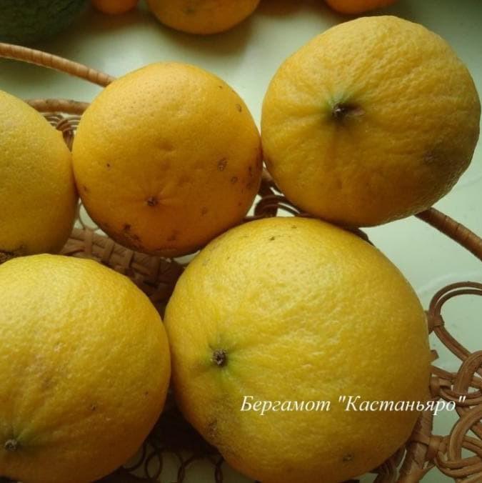 "Бергамот ""Кастаньяро"" (C. bergamia ""Castagnaro"") до 20 см. Комнатный"