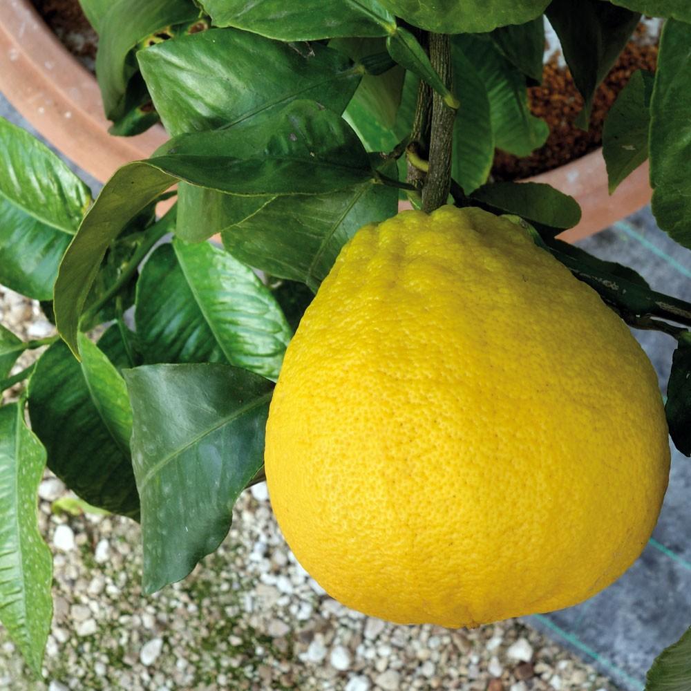 "Бергамот Феминелло (C. bergamia ""Femminello"") до 20 см. Комнатны"