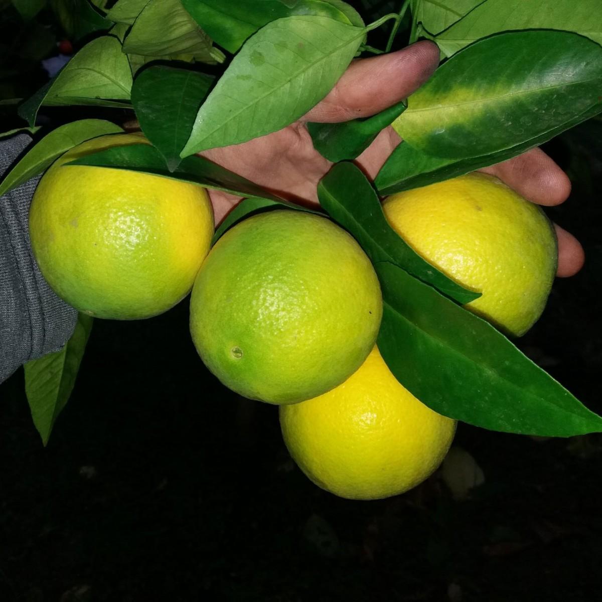 Апельсин червоний (C. sinensis Sanguinello Moscato Nucellare) до 20 см. кімнатний