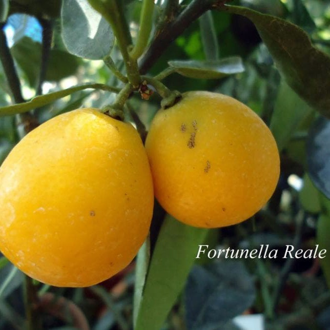 "Кумкват ""Реале"" (Fortunella ""Reale"") 20-25 см. Комнатный"