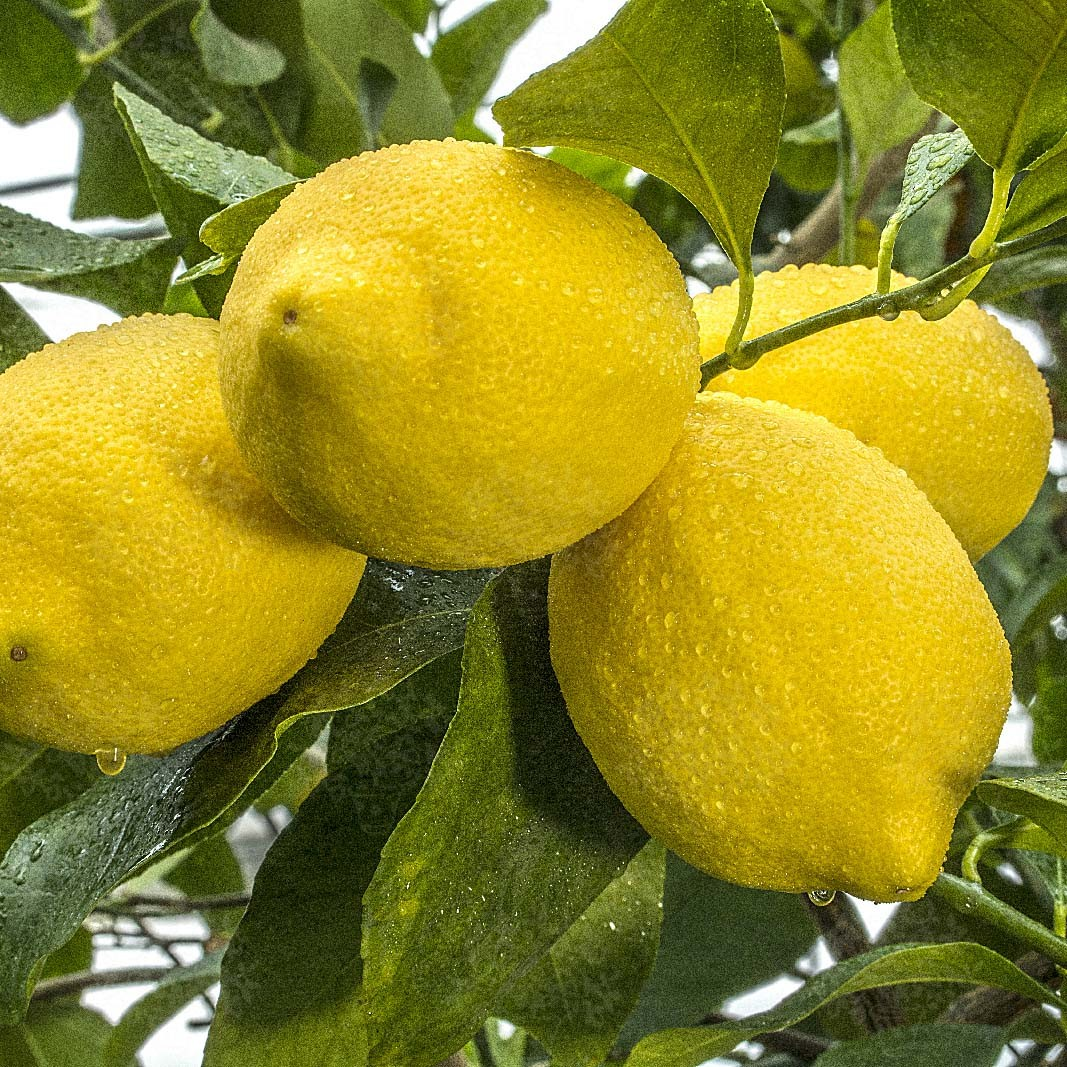 Лимон Загара Бьянка (Femminello a zagara Bianca) до 20 см. Комнатный