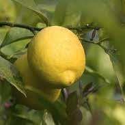 """Лимон СИРАКУЗАНО (C. limon """"Femminello Siracusano"""") до 20 см. Кімнатний"""