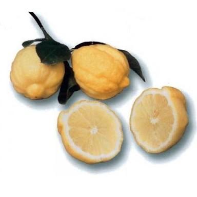 """Лимон Каналикулята (C. limon """"Canaliculata"""") до 20 см. Кімнатний"""