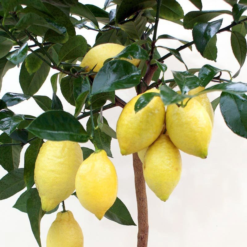 """Лимон """"Флорентина"""" (C.limon """"Florentina"""") до 20 см. Кімнатний"""