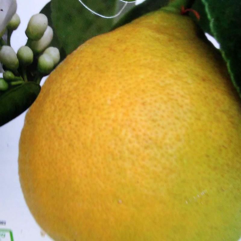 """Лимон """"Фемминелло Адамо"""" (C. limon """"Femminello Adamo"""") 20-25 см. Кімнатний"""