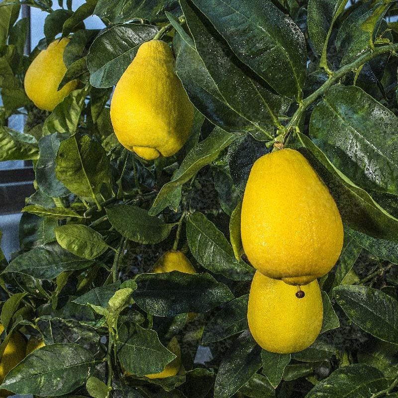 Лимон Вакхалоу (C. limon Vakhalou) до 20 см. Кімнатний