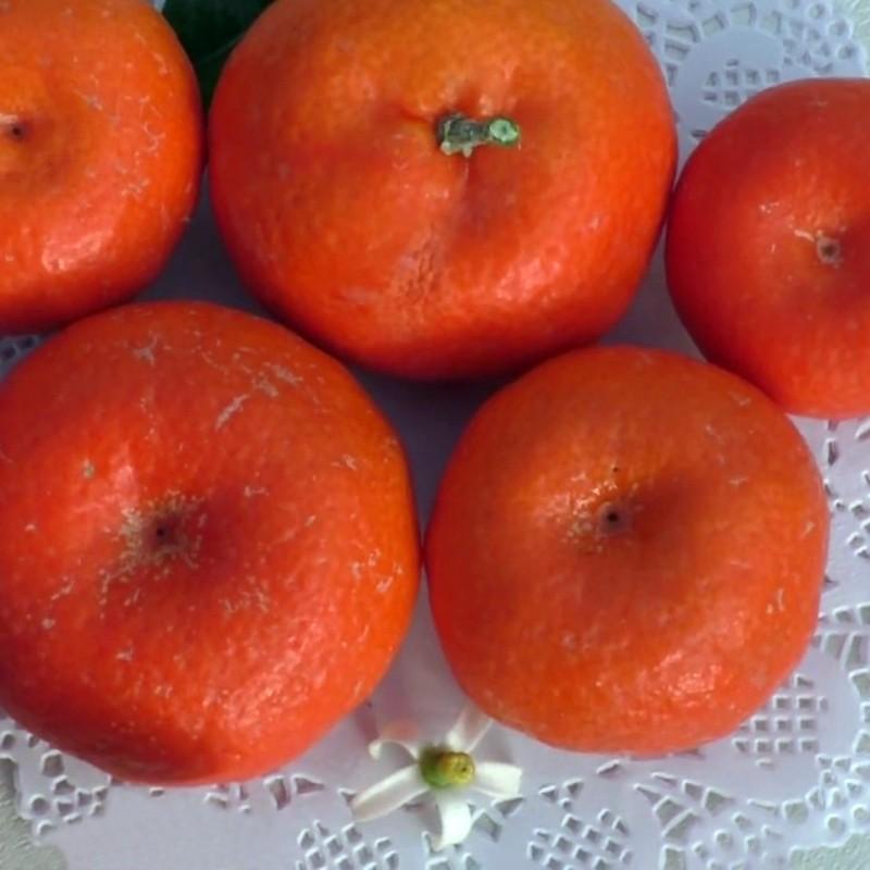 """Клементин """"Аносі"""" (C. clementina """"Anosi"""") до 20 см. Кімнатний"""