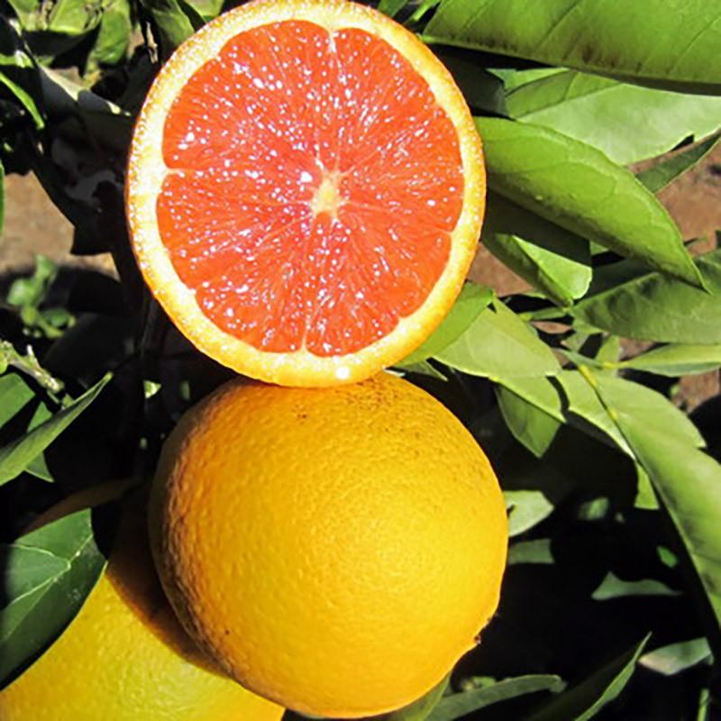 """Апельсин Пернамбуку Кровавый (C. sinensis """"Sanguineum Pernambuco"""") 20-25 см. Комнатный"""