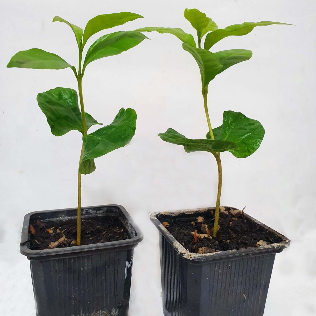 Кава Арабіка (Coffea arabica) 10-20 см. кімнатний