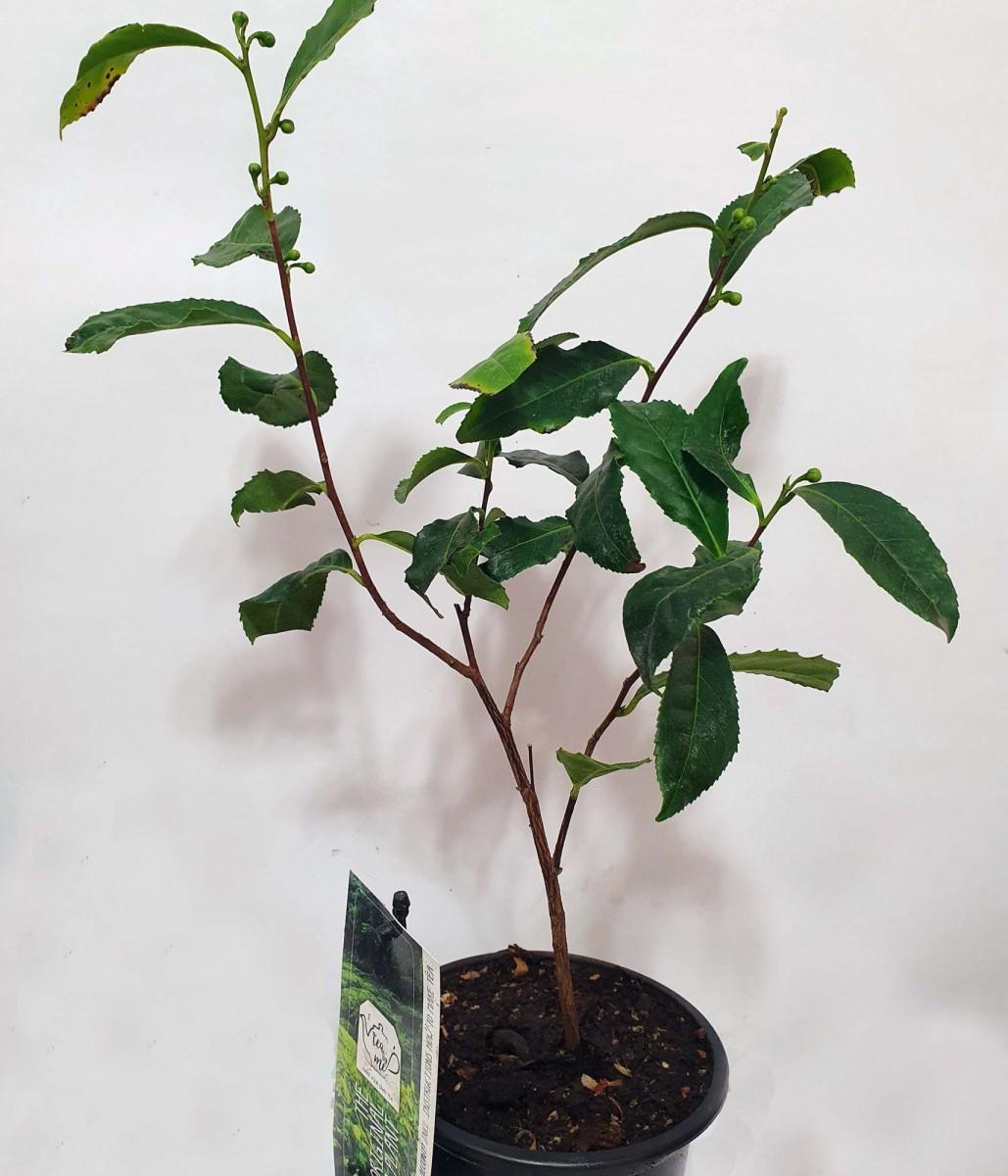 Чай (Camellia sinensis) 40-50 см. кімнатний