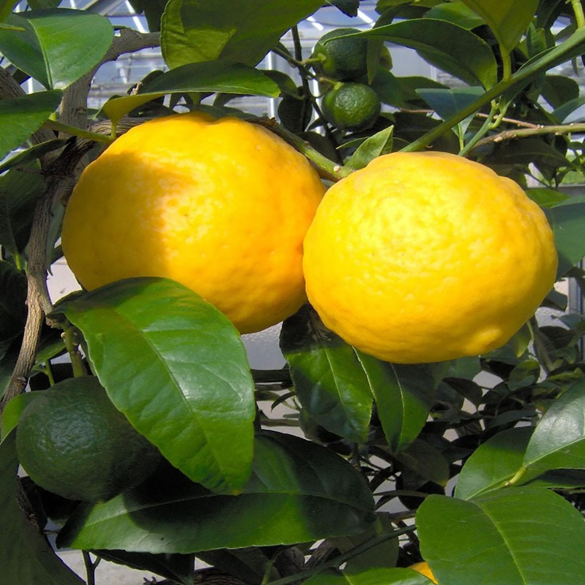 "Лимон апельсиновий (C. limon "" aranciato"") 20-25 см."