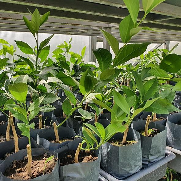 ПОДВОЙ Понцирус трeхлисточковый (C. trifoliata, Poncirus trifoliata) 20-30 см.
