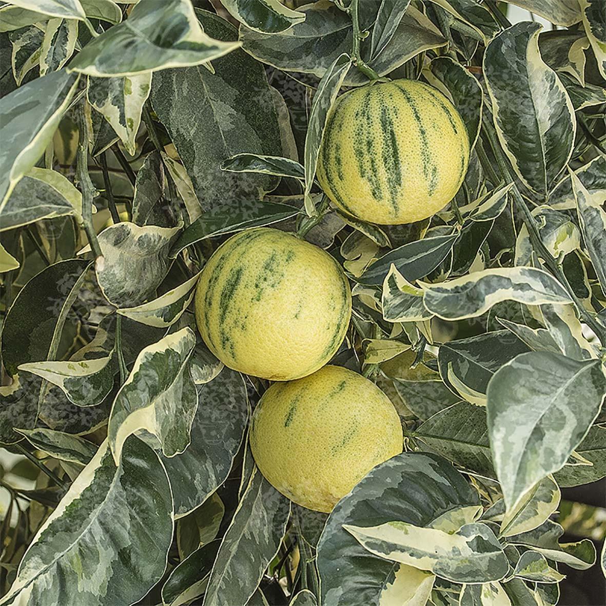Апельсин Тарокко пёстролистный красный (Tarocco foliis variegatis tardivo) 20-25 см