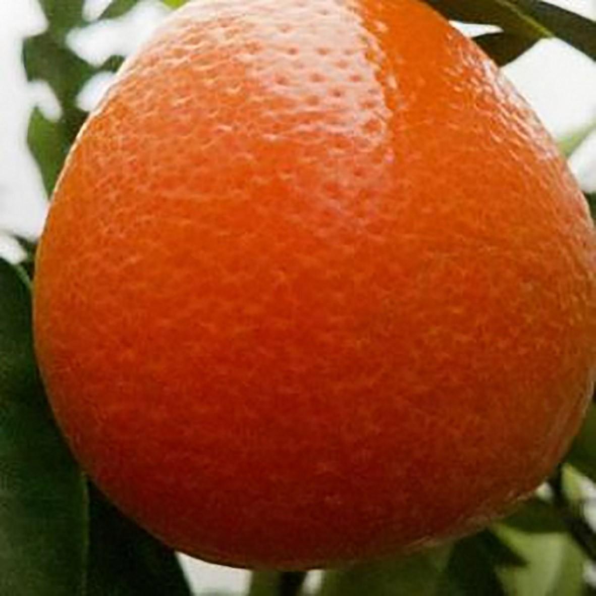 Оранжекват НИППОН (Orangequat Nippon, C. Unshiu x F. Margarita д 20 см)