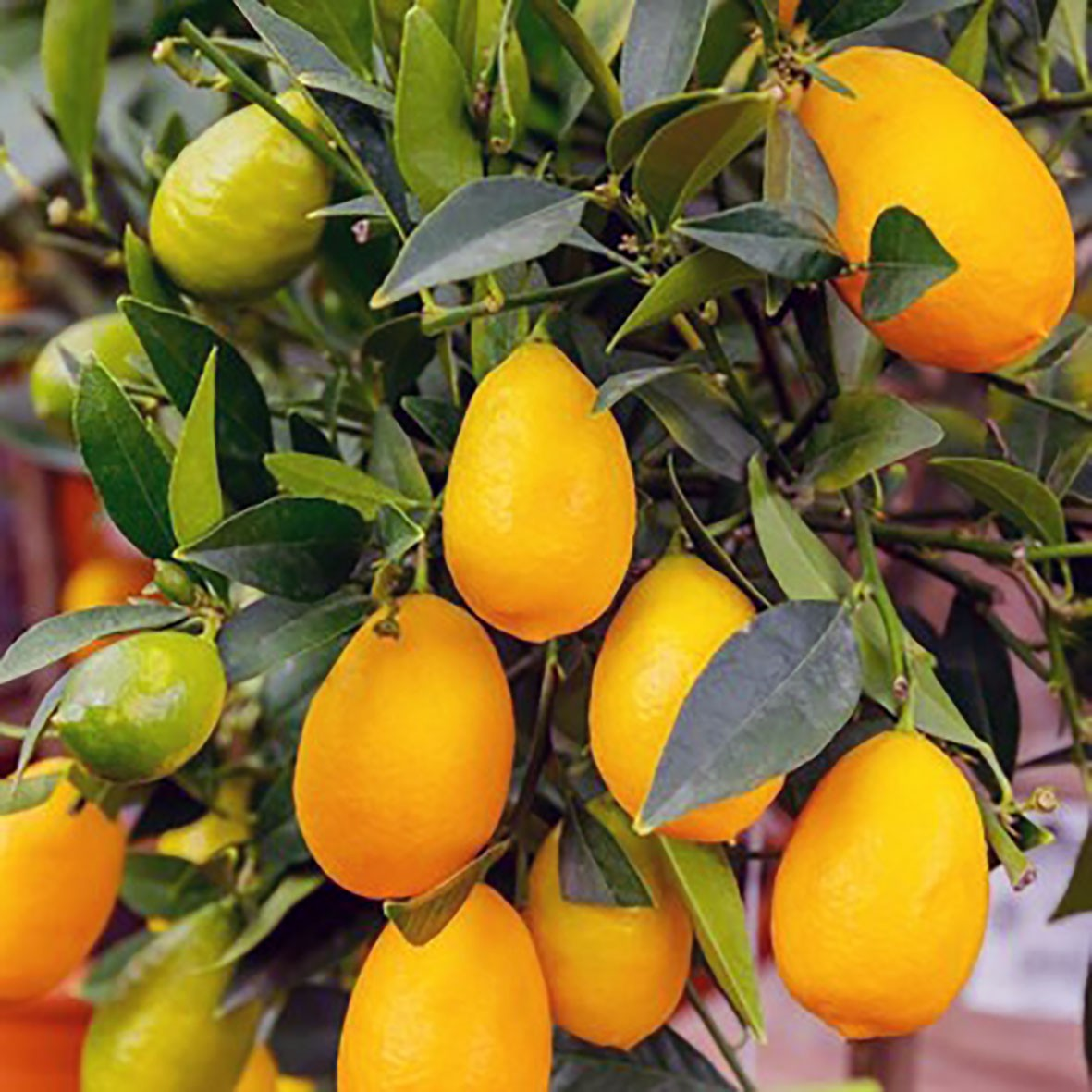 Лимонкват «Lemonquat» C. limon x Fortunella) до 20 см.