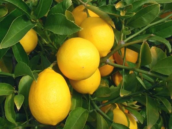 Лимон Мейєра (Citrus × meyeri) до 10 см. кімнатний
