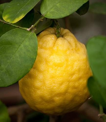 Лимон Пандероза (Київський великоплідний) 10-20 см. кімнатний
