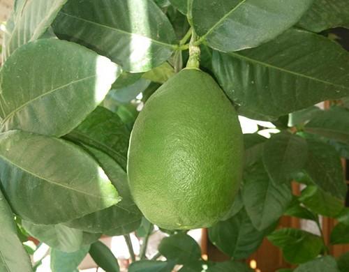 Лимон Новогрузинський 10-20 см. кімнатний вкорiнений