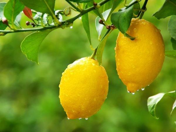 Лимон Лунарио (Citrus Limon Lunario) 25-30 см. Комнатный