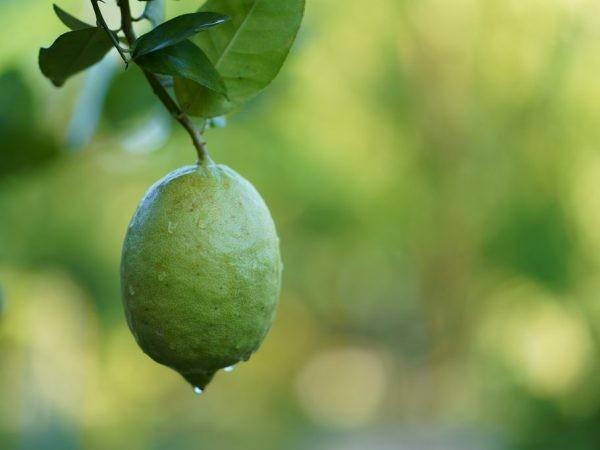 Лимон Лунарио (Citrus Limon Lunario) 20-25 см. Комнатный