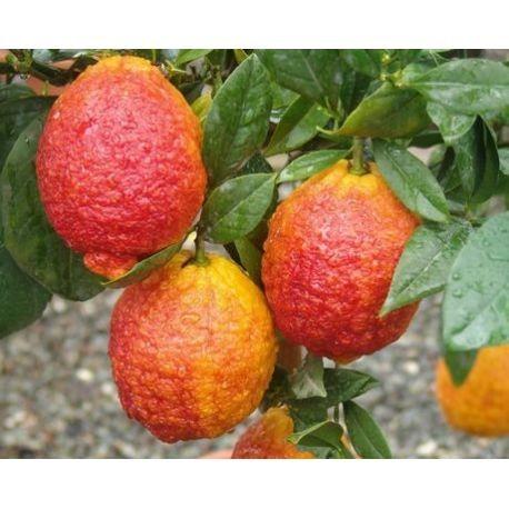 Лимон Россо (Red Lemon Rosso) 20-25 см. Кімнатний