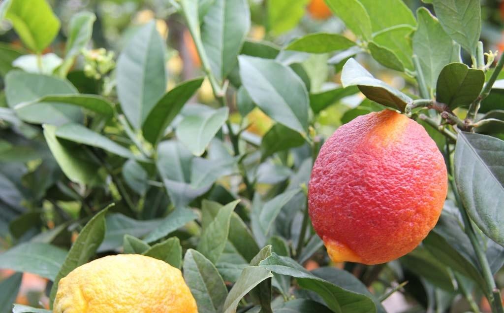 Лимон Россо (Red Lemon Rosso) до 20 см. Кімнатний