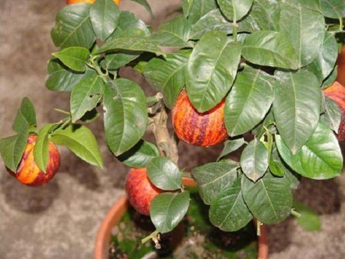 "Лимон Аркобалено (C. meyerii x c. sinensis ""doppio sanguigno"") до 20 см. Комнатный"