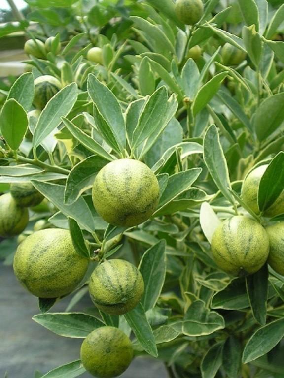 Лимон Эврика Вариегатный (Пёстролистный) до 20 см. Комнатный