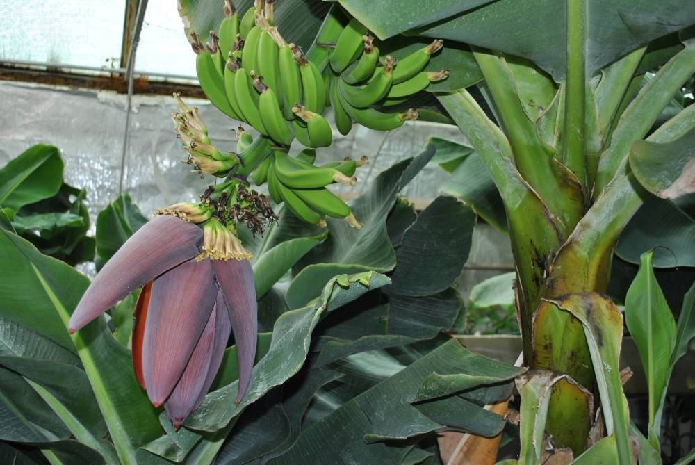 Банан (Musa) (Musa Dwarf Cavendish) 10-20 см. кімнатний
