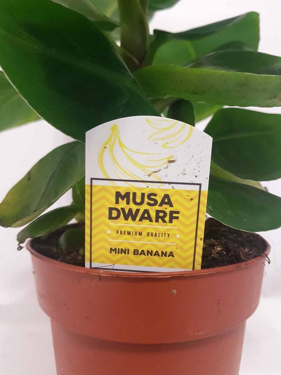Банан (Musa) (Musa Dwarf Cavendish) 30-40 см. кімнатний