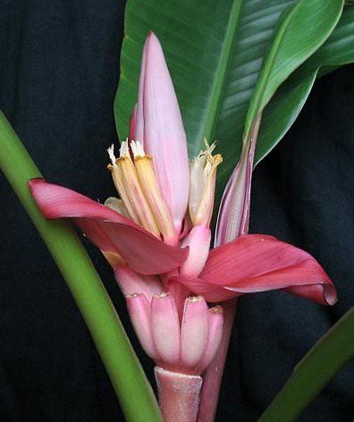 Банан (Musa velutina) Розовый, бархатный до 20 см. Комнатный