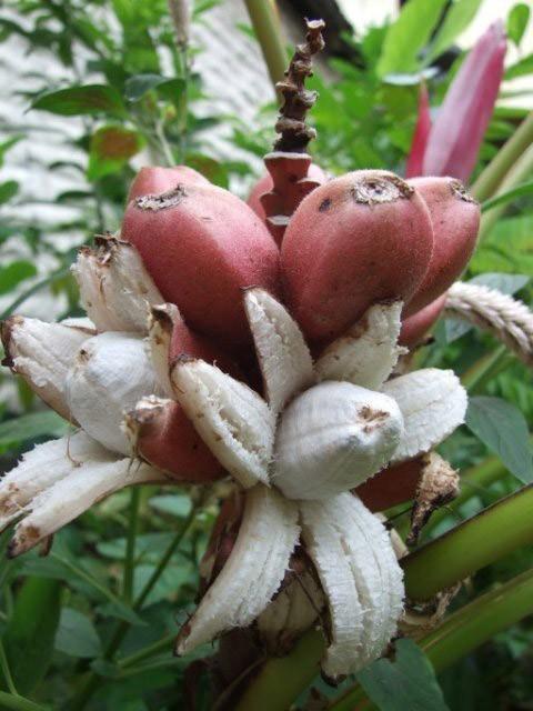 Банан (Musa velutina) Рожевий, оксамитовий до 20 см. Кімнатний