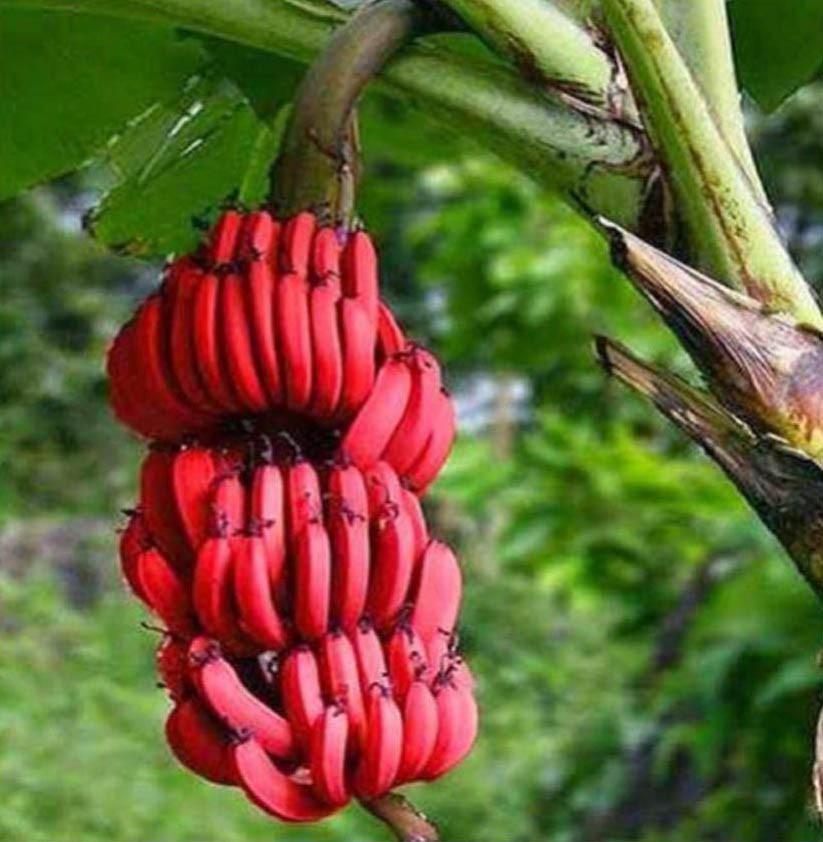 Банан Червоний (Musa acuminata Red Dacca) 70-80 см. кімнатний