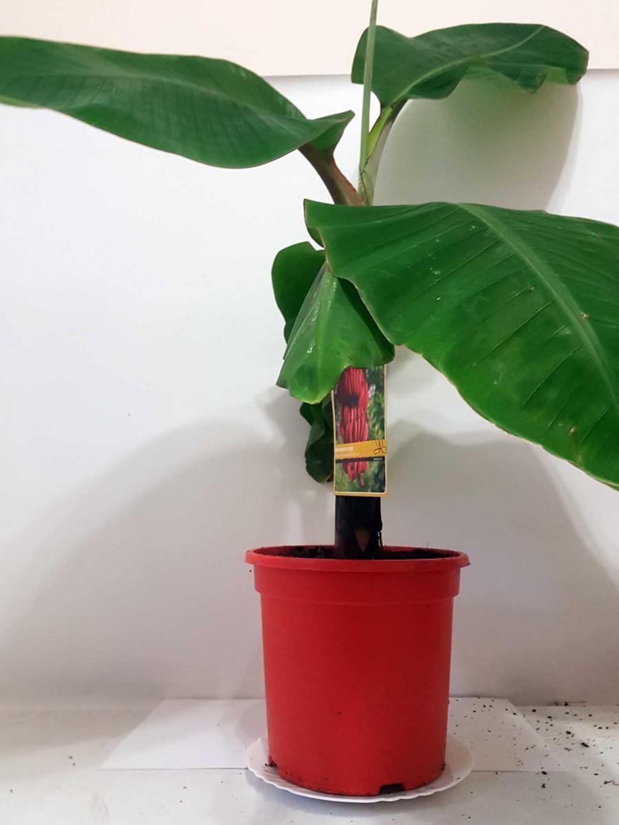 Банан Красный (Musa acuminata Red Dacca) 90-100 см. Комнатный