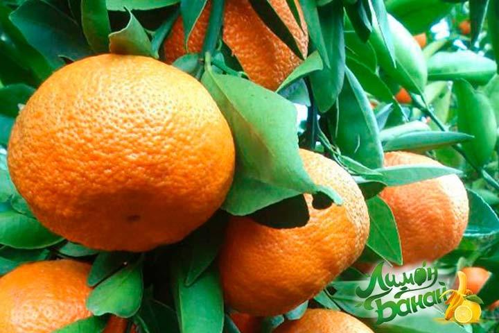 Мандарин Міхо-Васе (Citrus Miho Wasy) 30-35 см. кімнатний