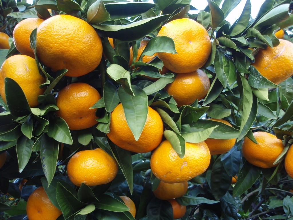 Мандарин Уншиу (Citrus unshiu) 35-40 см. Комнатный