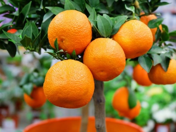 Клементин Нова (Citrus clementina Nova) 20-25 см. Комнатный