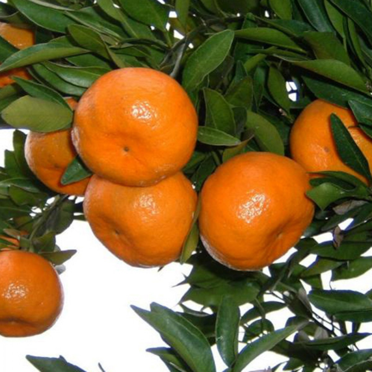 Мандарин Санбёрст (Sunburst) 30-35 см. Комнатный
