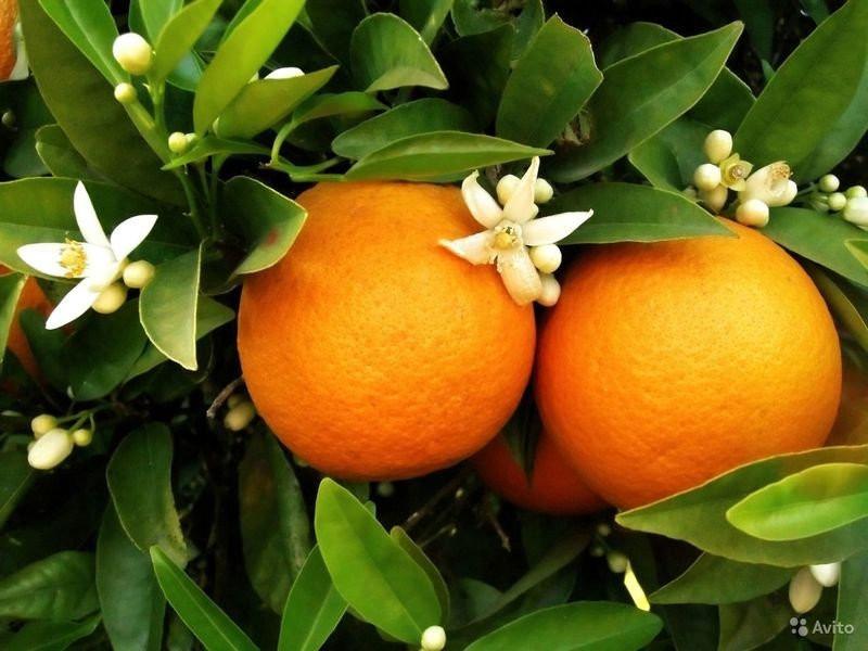 Апельсин Гамлин (Citrus sinensis Hamlin) до 20 см. Кімнатний