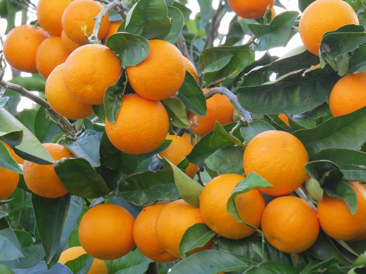 Апельсин Навелина (Citrus sinensis Navelina) более 50 см. Комнатный