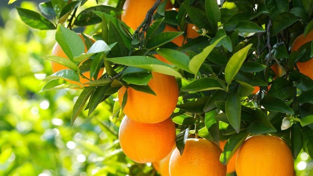 Апельсин Валенсія (Citrus sinensis Valencia) до 20 см. Кімнатний