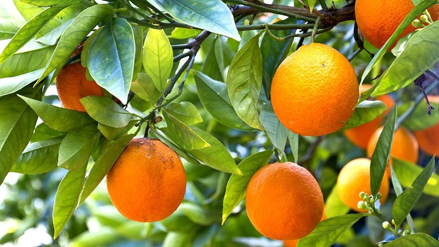 Апельсин Мерлин (Citrus sinensis Merlin) до 20 см. Комнатный